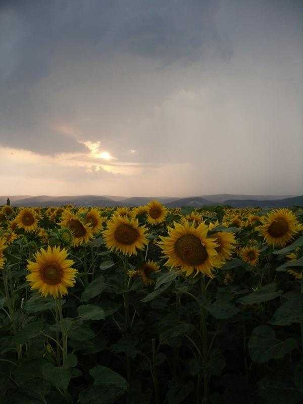 Sonnenblumen in Gewitterstimmung